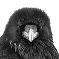 Raven by Scott Moss