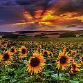 Rays Of Sunflowers by Steffen Gierok