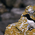 Razorbill Bird by Dreamland Media