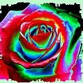 Razzle Dazzle Rose by Will Borden