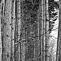 Reaching Pines by Sennie Pierson