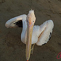 Ready For A Dance Pelican Ask Me Sinai Egypt by Colette V Hera  Guggenheim