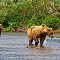 Ready To Pounce On A Salmon  In The Moraine River In Katmai National Preserve-ak by Ruth Hager