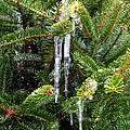 Real Christmas Icicles by Rich Franco