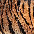Real Wild Tiger Fur by Yesfoto