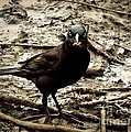Really It Is Mine- Says The Grackle Bird by Christy Ricafrente