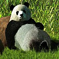 Reclining Panda by Daniel Eskridge