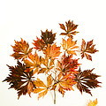 Reconstructed Full Moon Maple by Anne Gilbert