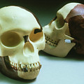 Reconstruction Of Piltdown Man by John Reader/science Photo Library