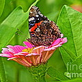 Red Admiral Butterfly And Zinnia Flower by Byron Varvarigos