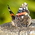 Red Admiral Butterfly by David Lee Thompson