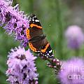 Red Admiral Butterfly On A Blazing Star by Jennifer E Doll