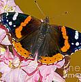 Red Admiral Butterfly by Millard H. Sharp