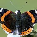 Red Admiral Butterfly by Millard Sharp