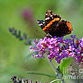 Red Admiral Butterfly On Butterfly Bush by Karen Adams