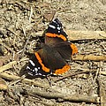 Red Admiral by Eric Noa