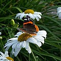 Red Admiral On A Daisy by Terri Waselchuk