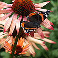 Red Admiral On Coneflower by Gill Billington