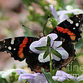 Red Admiral  by Sarah Boyd