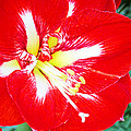 Red Amaryllis by Rich Walter