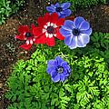 Red And Blue Anemones by Ausra Huntington nee Paulauskaite