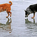 Red And Blue Heelers by Elizabeth Winter