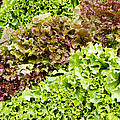 Red And Green Leaf Lettuce  by John Trax
