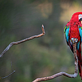 Red-and-green Macaw Sitting On Branch by Sean Caffrey