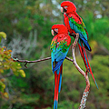 Red-and-green Macaws, Ara Chloroptera by Mint Images/ Art Wolfe