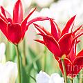 Red And White  by Angela Doelling AD DESIGN Photo and PhotoArt