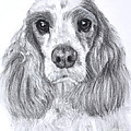 Red And White Cocker Spaniel by Kate Sumners