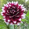 Red And White Dahlia by MTBobbins Photography