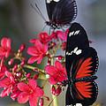Red And White Longwing Butterflies  by Saija  Lehtonen