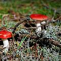 Red And White Mushrooms by Sonya Kanelstrand