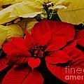 Red And White Poinsettias by Marcus Dagan