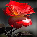 Red And White Rose by Michael Moriarty