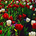 Red And White Tulip Art by Kaye Menner