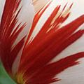Red And White Tulip  by Ben and Raisa Gertsberg