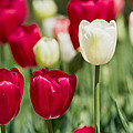 Red And White Tulips by Rospotte Photography