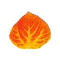 Red And Yellow Aspen Leaf 5 by Agustin Goba