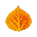 Red And Yellow Aspen Leaf 6 by Agustin Goba