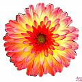 Red And Yellow Dahlia by Bruce Nutting