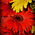 Red And Yellow Glory - The Flowers Of Summer - Gerbera Daisies by Miriam Danar