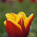 Red And Yellow Tulip Closeup by Jit Lim