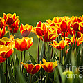 Red And Yellow Tulips II by Mary  Smyth