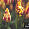 Red And Yellow Tulips by Mary  Smyth