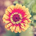 Red And Yellow Zinnia II by Erin Johnson
