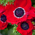Red Anemone. Flowers Of Holland by Jenny Rainbow
