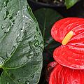 Red Anthurium Flower by Denise Bird