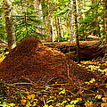 Red Ants Nest by Jeff Swan